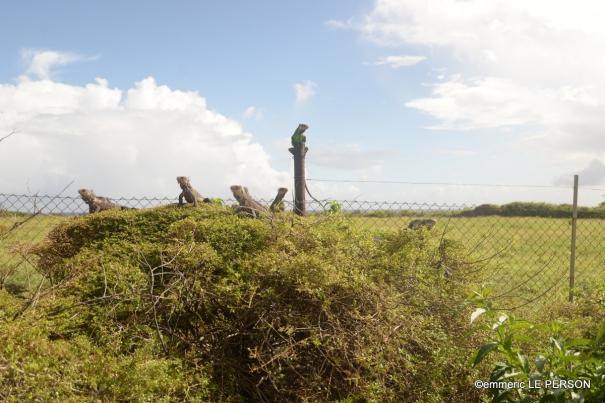 Les iguanes gardiens de l'île